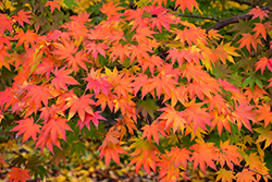 Japanese Maple (Acer palmatum) at Randy's Perennials