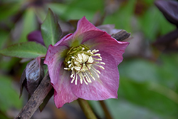 Red Lady Hellebore (Helleborus 'Red Lady') at Randy's Perennials
