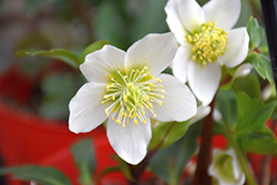 Gold Collection® Jacob Hellebore (Helleborus niger 'Jacob') at Randy's Perennials