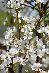 Toka Plum (Prunus 'Toka') at Randy's Perennials