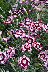 Raspberry Swirl Pinks (Dianthus 'Devon Siskin') at Randy's Perennials