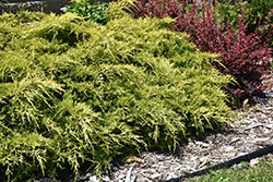 Gold Lace Juniper (Juniperus x media 'Gold Lace') at Randy's Perennials