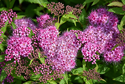 Anthony Waterer Spirea (Spiraea x bumalda 'Anthony Waterer') at Randy's Perennials