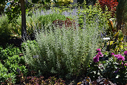 Filigran Russian Sage (Perovskia 'Filigran') at Randy's Perennials