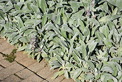 Lamb's Ears (Stachys byzantina) at Randy's Perennials