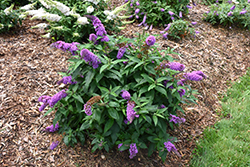 Pugster® Periwinkle Butterfly Bush (Buddleia 'SMNBDO') at Randy's Perennials
