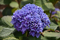 Let's Dance® Rhythmic Blue™ Hydrangea (Hydrangea macrophylla 'SMHMES14') at Randy's Perennials