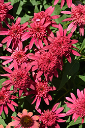 Double Scoop™ Raspberry Coneflower (Echinacea 'Balsceras') at Randy's Perennials