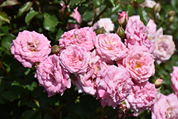 Sweet Drift® Rose (Rosa 'Meiswetdom') at Randy's Perennials