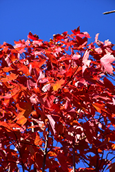 October Glory Red Maple (Acer rubrum 'October Glory') at Randy's Perennials