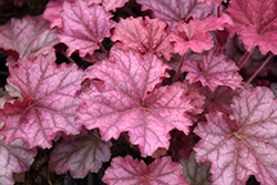 Berry Smoothie Coral Bells (Heuchera 'Berry Smoothie') at Randy's Perennials