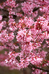 Okame Flowering Cherry (Prunus 'Okame') at Randy's Perennials