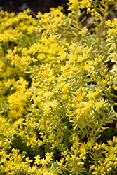 Lemon Ball Stonecrop (Sedum rupestre 'Lemon Ball') at Randy's Perennials