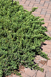 Blue Pacific Shore Juniper (Juniperus conferta 'Blue Pacific') at Randy's Perennials
