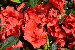 Encore® Autumn Embers™ Azalea (Rhododendron 'Conleb') at Randy's Perennials