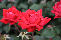 Double Knock Out® Rose (Rosa 'Radtko') at Randy's Perennials
