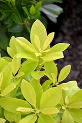 BananAppeal® Anise (Illicium parviflorum 'PIIIP-I') at Randy's Perennials