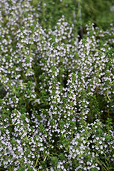 Doone Valley Thyme (Thymus 'Doone Valley') at Randy's Perennials
