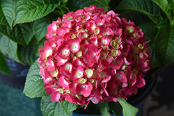 Summer Crush® Hydrangea (Hydrangea macrophylla 'Bailmacfive') at Randy's Perennials