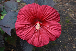 Summerific® Holy Grail Hibiscus (Hibiscus 'Holy Grail') at Randy's Perennials