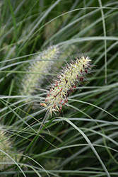 Little Bunny Dwarf Fountain Grass (Pennisetum alopecuroides 'Little Bunny') at Randy's Perennials