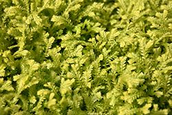 Golden Spikemoss (Selaginella kraussiana 'Aurea') at Randy's Perennials