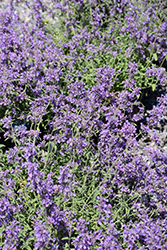 Little Trudy Catmint (Nepeta 'Psfike') at Randy's Perennials