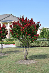 Dynamite® Crapemyrtle (Lagerstroemia indica 'Whit II') at Randy's Perennials