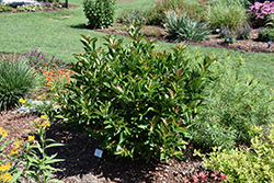 Coppertop™ Sweet Viburnum (Viburnum odoratissimum 'Brant 01') at Randy's Perennials