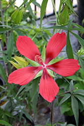 Scarlet Rose Mallow (Hibiscus coccineus) at Randy's Perennials