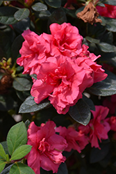 Encore® Autumn Rouge™ Azalea (Rhododendron 'Conlea') at Randy's Perennials