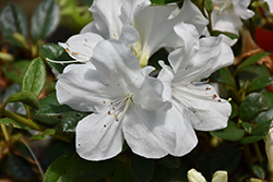 Encore® Autumn Ivory™ Azalea (Rhododendron 'Roblev') at Randy's Perennials