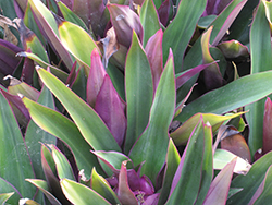 Moses In The Cradle (Tradescantia spathacea) at Randy's Perennials